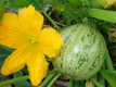 courgette-ronde-2